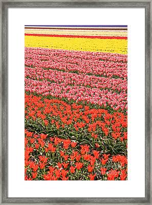Tulip Fields 2 Framed Print by Jasna Buncic