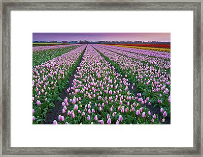 Tulip Fields In The Netherlands At Dusk Framed Print by Peter Zelei Images
