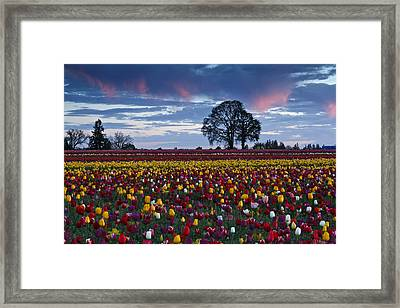 Tulip Field's Last Colors Framed Print by Wes and Dotty Weber