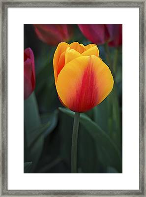 Tulip Flame Framed Print by David Lunde