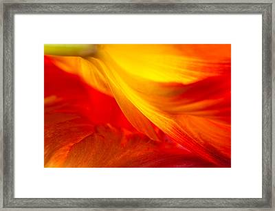 Tulip Flame Framed Print by Joan Herwig