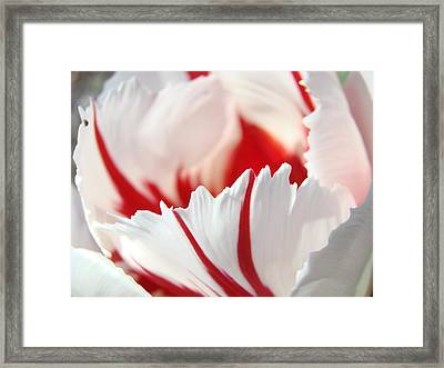 Tulip Flower Art Prints White Pink Red Tulips Framed Print by Baslee Troutman