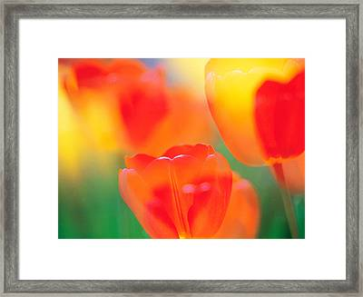 Tulip Flowers Framed Print