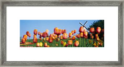 Tulip Flowers With A Windmill In The Framed Print by Panoramic Images
