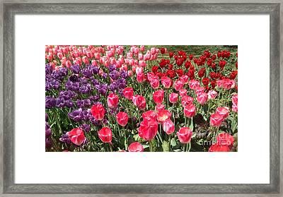 Tulip Garden 2 Framed Print