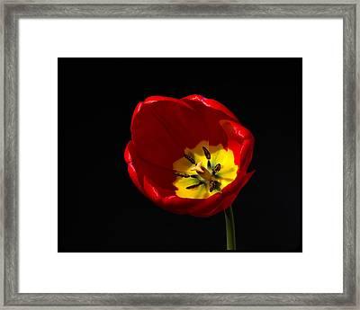 Tulip Glory Framed Print