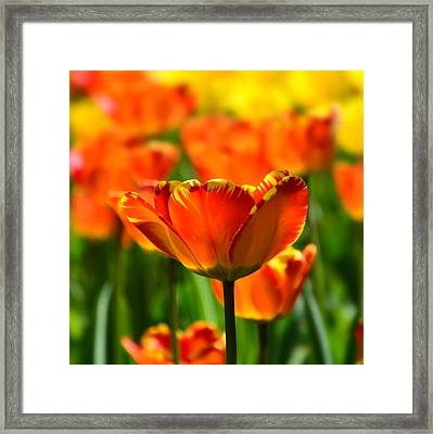 Tulip Framed Print by Gynt