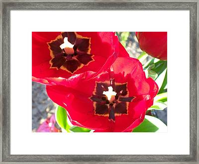Framed Print featuring the photograph Tulip Harmony by Belinda Lee