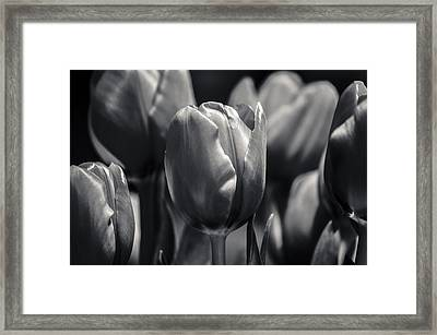 Framed Print featuring the photograph Tulip Hollywood Lighting by Craig Perry-Ollila