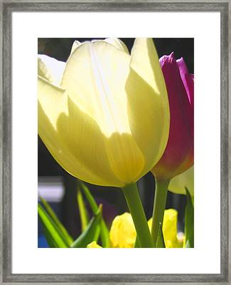 Tulip In Bright Sunlight Framed Print