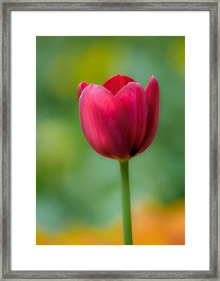 Tulip In Contrast Framed Print by James Barber