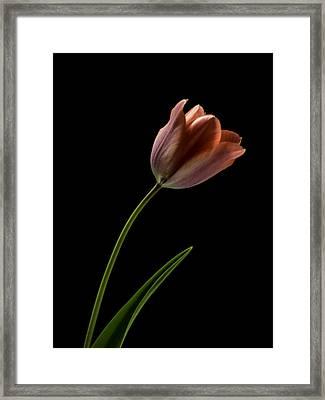 Tulip In Quiet Light Framed Print