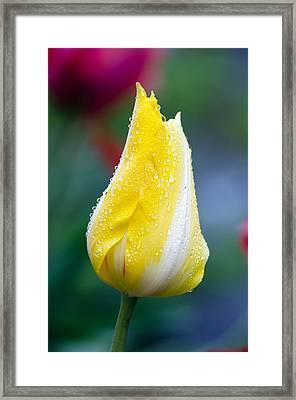 Tulip In Rain Framed Print