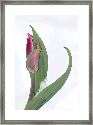 Tulip In The Snow Framed Print by  Andrea Lazar