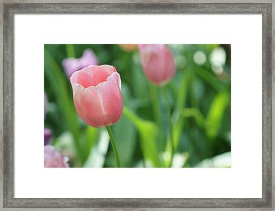 Tulip Framed Print by Kathy Churchman