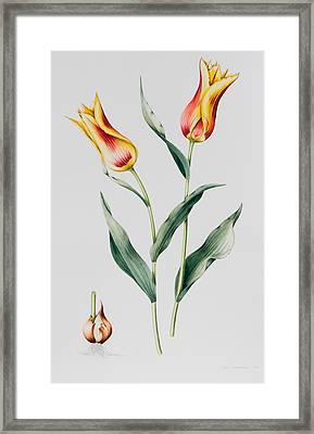 Tulip Mona Lisa Framed Print by Sally Crosthwaite
