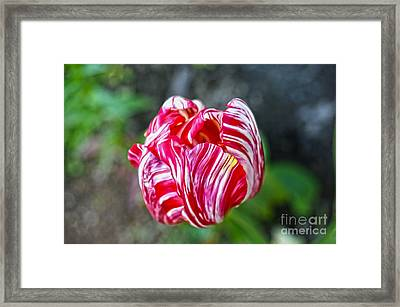 Tulip Framed Print by Nur Roy