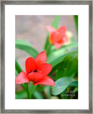 Tulip Of Dream Framed Print
