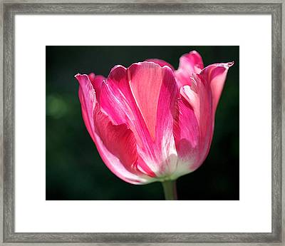 Tulip Painted In Shades Of Pink Framed Print by Rona Black