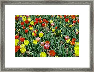 Tulip Patch Framed Print