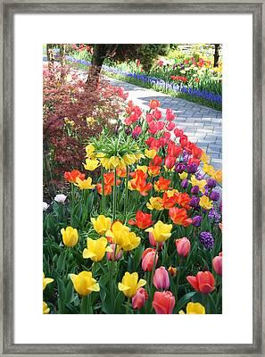 Tulip Path Framed Print