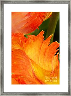 Tulip Framed Print by Paul W Faust -  Impressions of Light