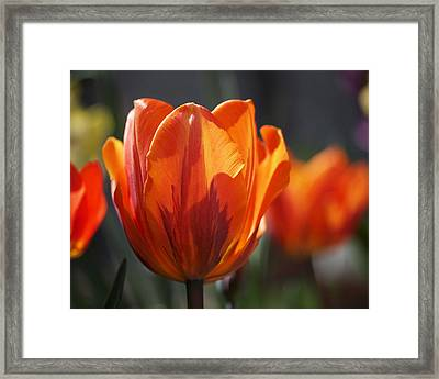 Tulip Prinses Irene Framed Print by Rona Black