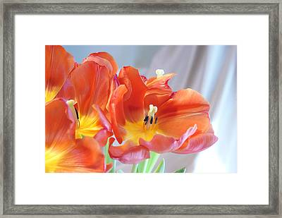 Tulip Profusion Framed Print by Margie Avellino