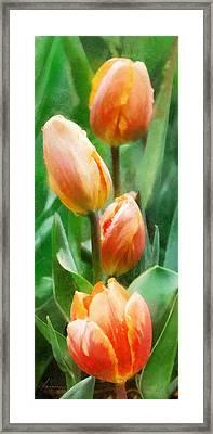 Tulip Quartet Framed Print by Francesa Miller