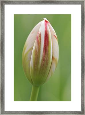 Tulip Red And White In Spring Framed Print
