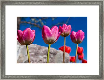 Tulip Revival Framed Print