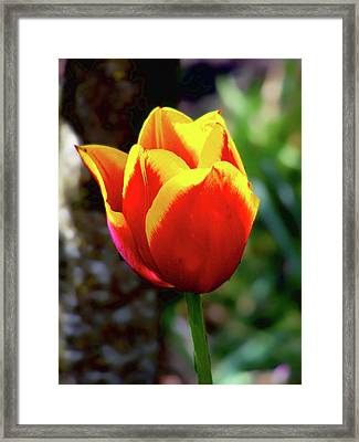 Tulip Framed Print by Ron Roberts