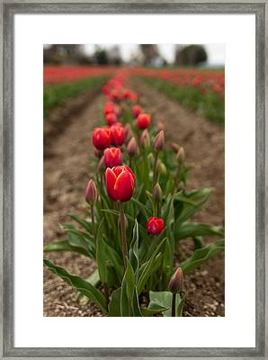 Framed Print featuring the photograph Tulip Row by Erin Kohlenberg