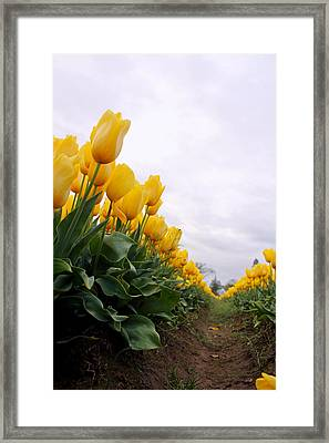Tulip Row Framed Print by Kami McKeon