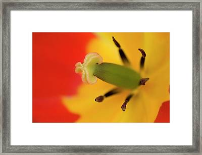 Tulip Stamens Abstract Framed Print by Nigel Downer