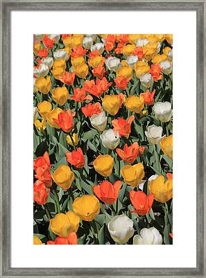 Tulip Stretch Framed Print