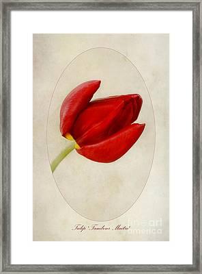 Tulip Tambour Maitre Framed Print by John Edwards