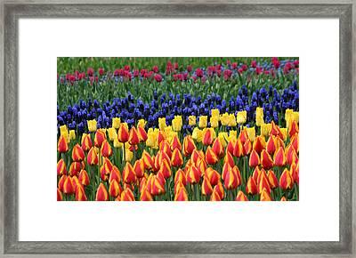 Tulip Time In Amsterdam Framed Print