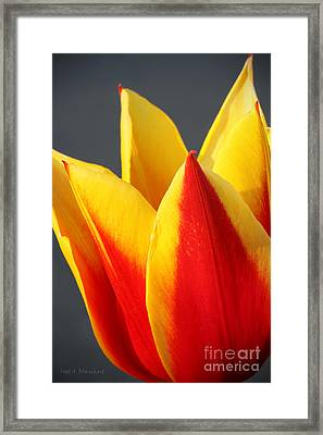 Framed Print featuring the photograph Tulip by Todd Blanchard