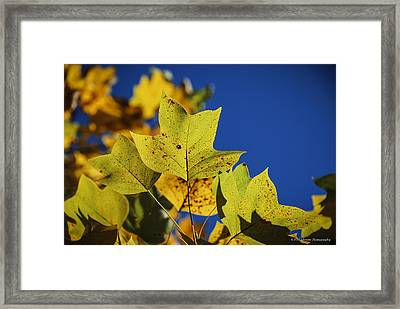 Framed Print featuring the photograph Tulip Tree In Autumn by Phil Abrams