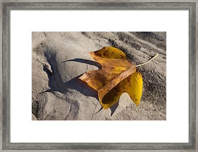 Tulip Tree Leaf - Shadow And Light Framed Print by Georgia Mizuleva