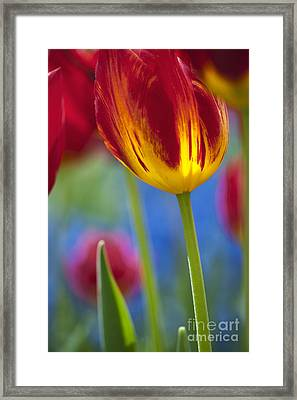 Tulip Triumph Yomako Abstract Framed Print