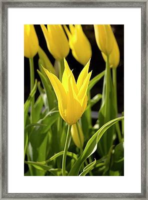Tulip (tulipa 'westpoint') Framed Print by Adrian Thomas/science Photo Library