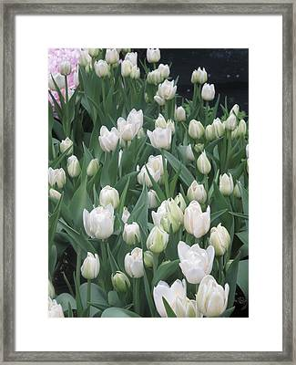 Framed Print featuring the photograph Tulip White Show Flower Butterfly Garden by Navin Joshi
