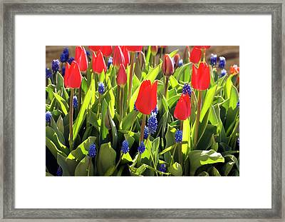 Tulipa And Muscari Framed Print by Adrian Thomas