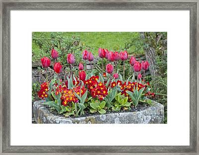 Tulipa 'couleur Cardinal' And Primula Sp Framed Print