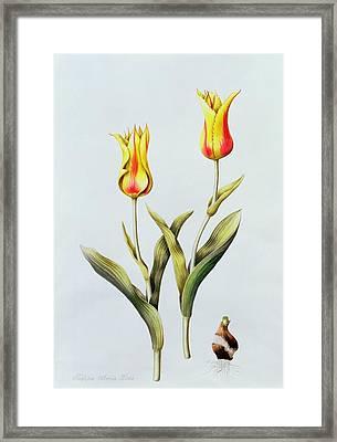 Tulipa Mona Lisa Framed Print by Sally Crosthwaite