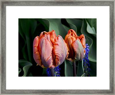 Irene Parrot Tulips Framed Print