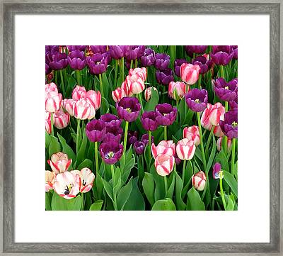 Tulips 3 Framed Print by Michael Anthony