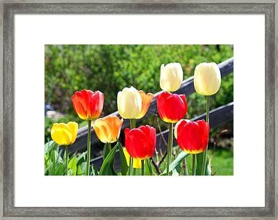 Tulips Aglow Framed Print by James Hammen